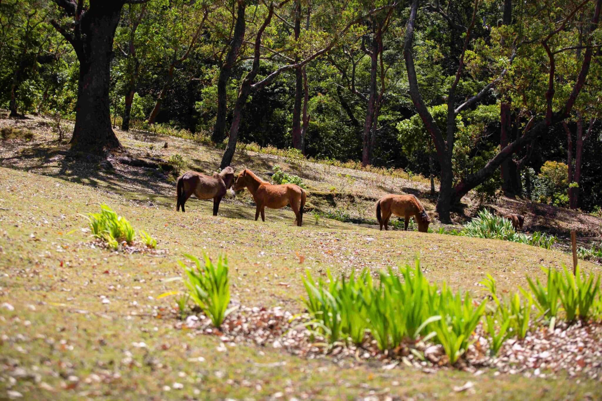 Gerombolan Kuda di Fatumnasi